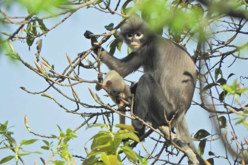 With just 200-250 left in the wild, the newly discovered Popa langur is likely to be classified as 'critically endangered'