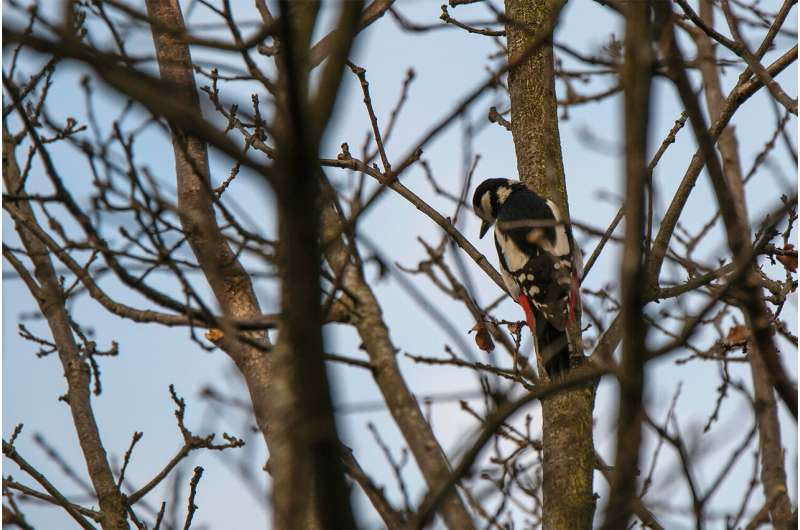 Woodpeckers' drumming: Conserved meaning despite different structure over the years