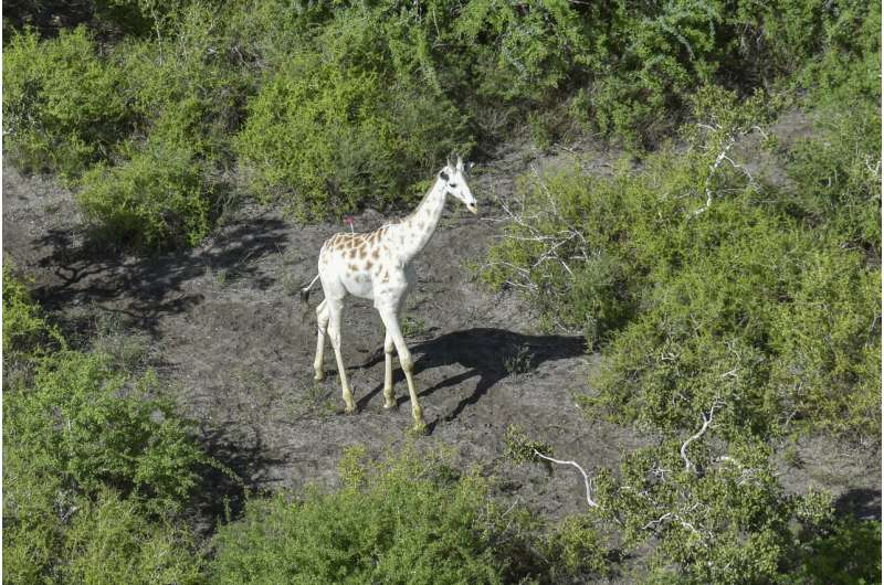 World's last known white giraffe gets GPS tracking device