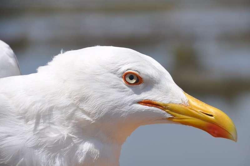 Yellow-legged gull adapts its annual lifecycle to human activities to get food