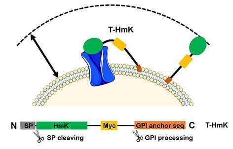 Zombie scanning enables the study of peptide-receptor interactions on the cell surface