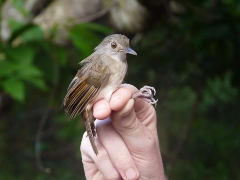 Zoologists uncover new example of rapid evolution in Southeast Asia – meet the Sulawesi Babblers