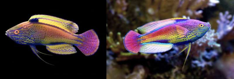 Wrasses dazzle: how fairy wrasses got their flamboyant colours