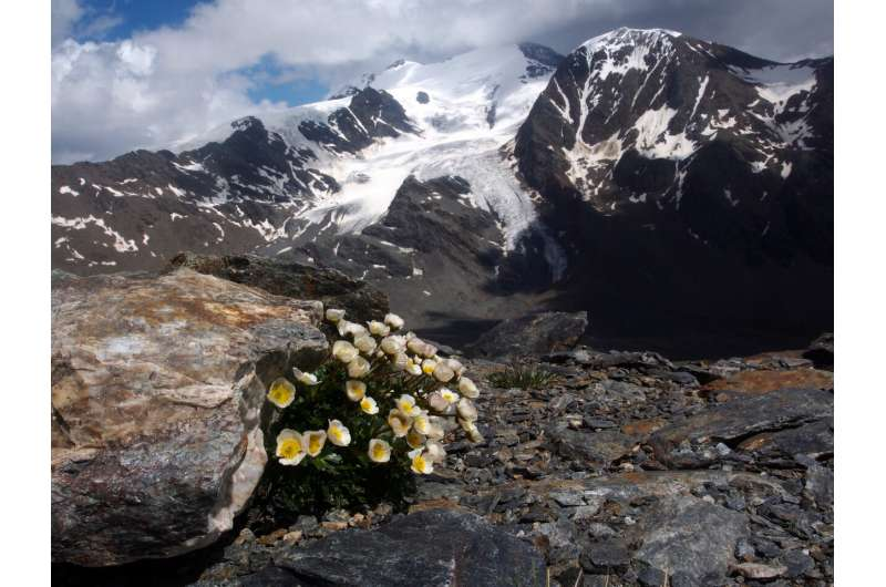 Alpine plants at risk of extinction following disappearing glaciers