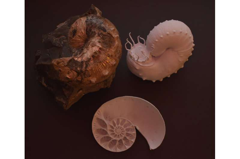 Ancient ammonoids' shell designs may have aided buoyancy control