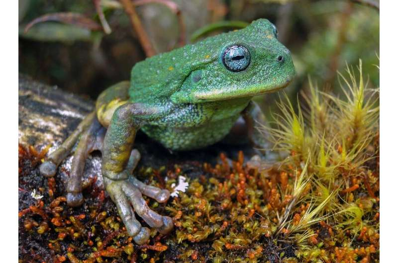 An image provicded by Peru's state service for the protection of natural areas of a new species of frog found in Peru's Amazon j