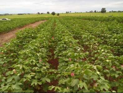 Application of potassium to grass used as cover crop guarantees higher-quality cotton