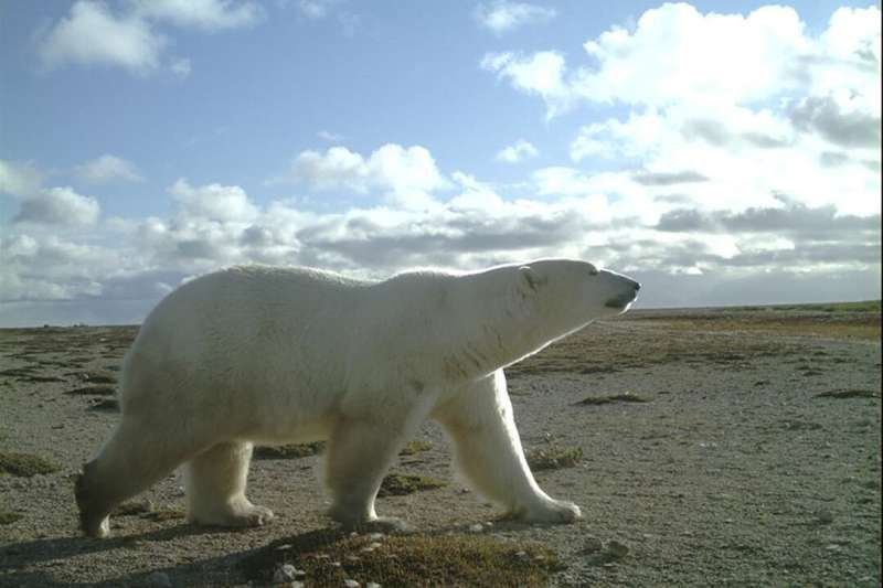 Calling all citizen scientists: help classify polar bears