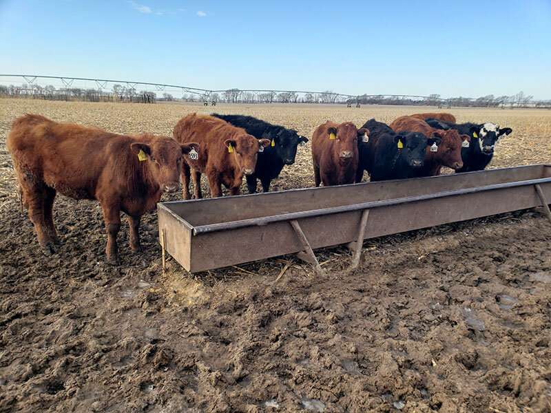 Cattle grazing and soybean yields