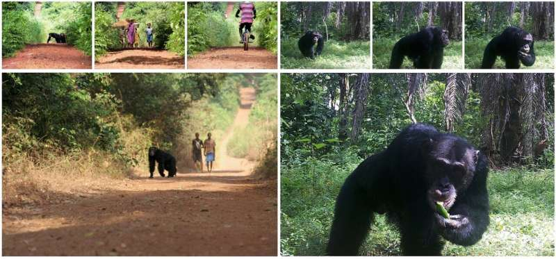 Chimpanzees and humans share overlapping territories