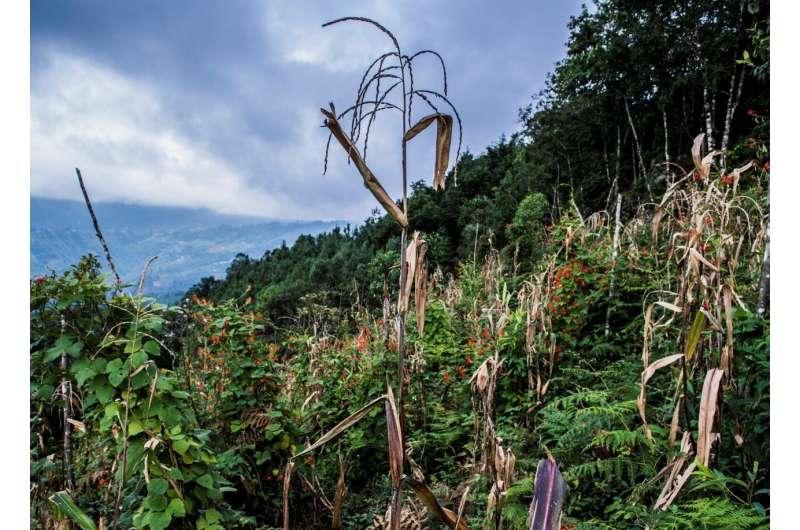 Classic milpa maize intercrop can help feed communities forgotten by development
