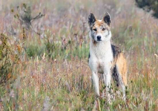 Dogs (not) gone wild: DNA tests show most 'wild dogs' in Australia are pure dingoes