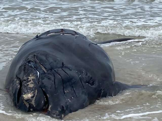 Endangered baby right whale found dead on Florida beach
