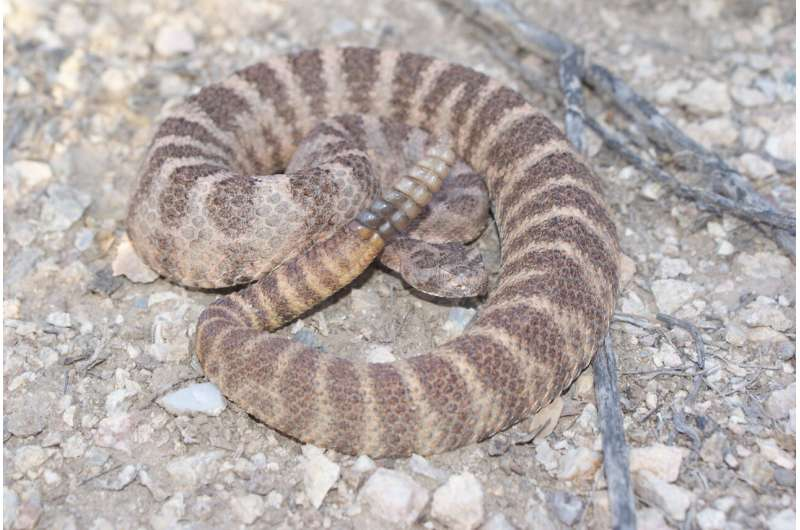 Exploration of toxic Tiger Rattlesnake venom advances use of genetic science techniques