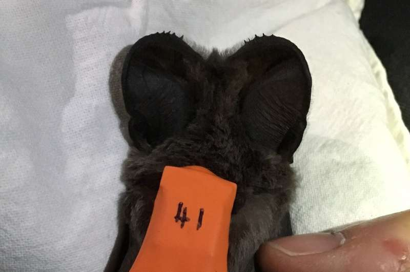 Fast-flying bats rely on late-night updrafts to reach great heights