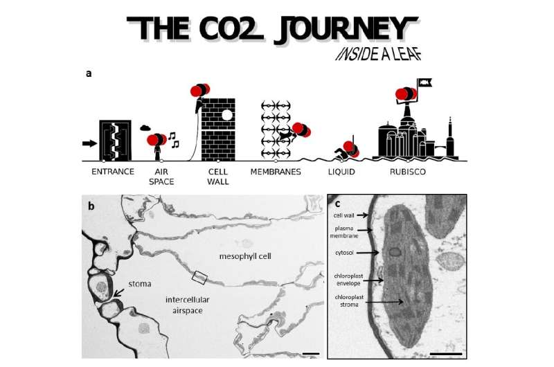 Finding the best targets to improve crop yield by following CO2 journey inside the leaf