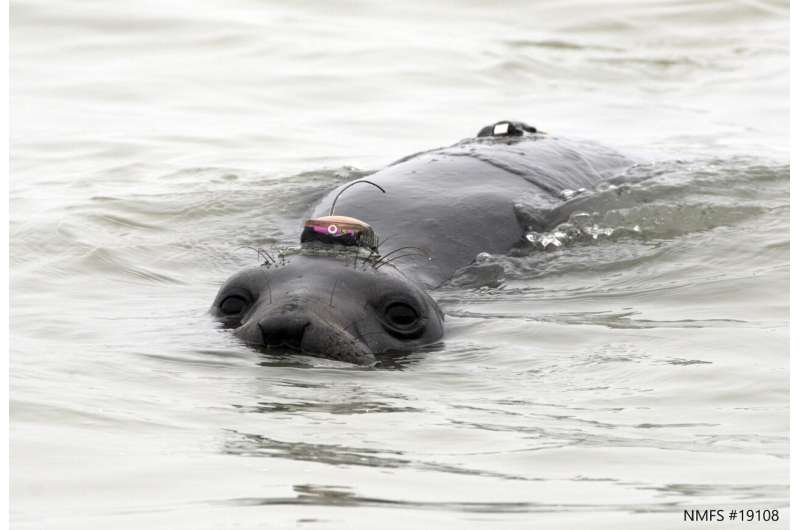 For migrating elephant seals, 'lightscapes of fear' shape feeding, resting strategies