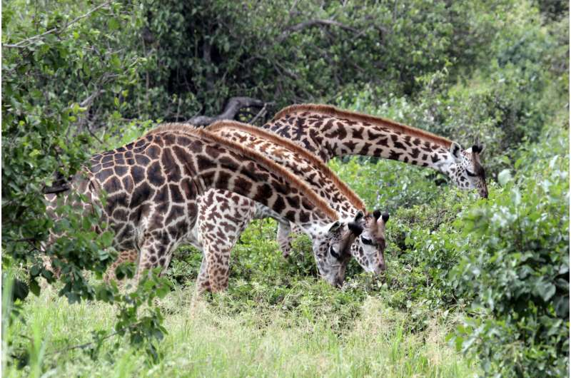 Friends matter: Giraffes that group with others live longer