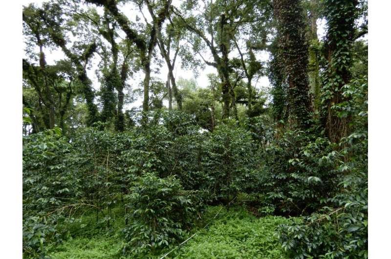 Fungus that eats fungus could help coffee farmers
