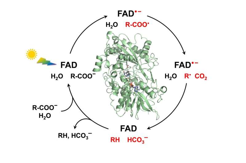 Green chemistry and biofuel: the mechanism of a key photoenzyme decrypted