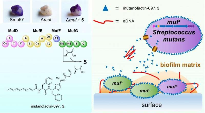 HKUST researchers unlock the micro-molecular physiochemical mechanism of dental plaque formation