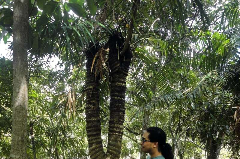 Knowledge of cycad branching behavior improves conservation