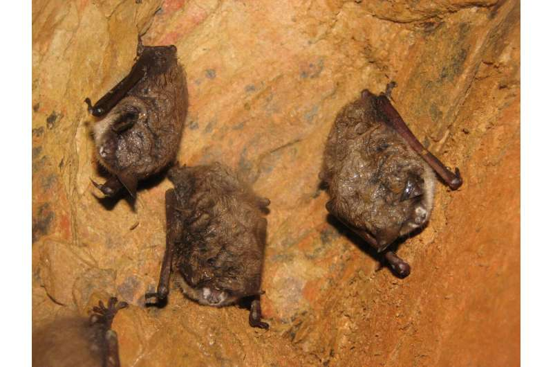 Low risk of researchers passing coronavirus to North American bats