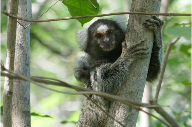 Marmoset monkeys eavesdrop and understand conversations between other marmosets