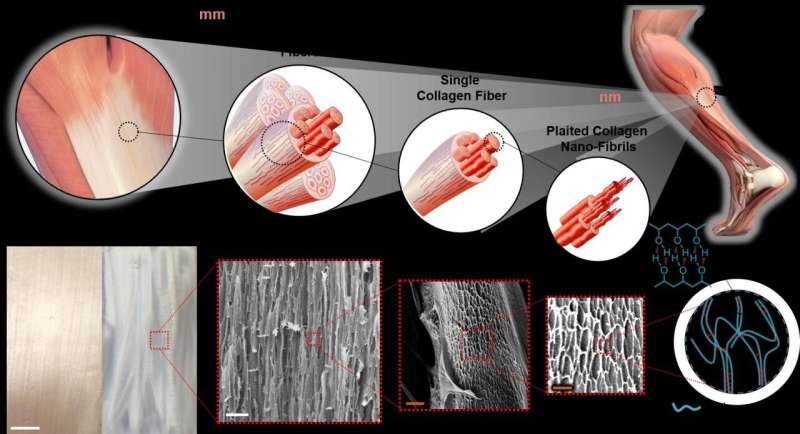 Materials scientists show way to make durable artificial tendons from improved hydrogels