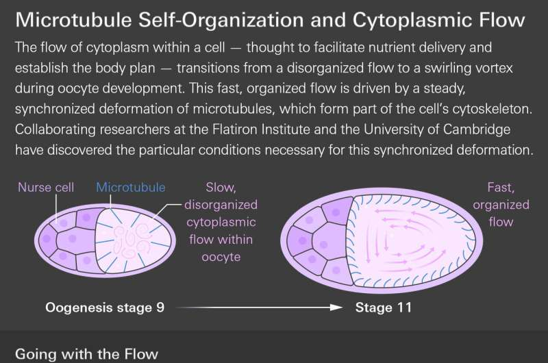 Mathematics explains how giant whirlpools form in developing egg cells