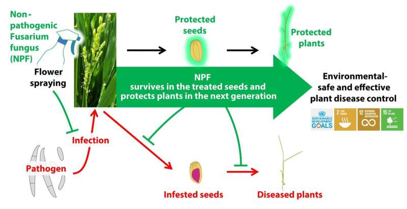 New eco-friendly technique protects rice plants against devastating fungal infection