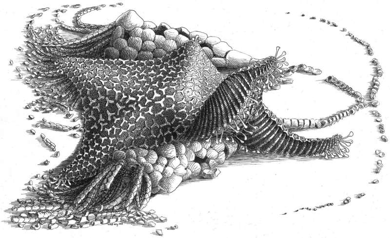 New starfish-like fossil reveals evolution in action