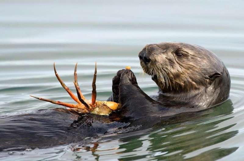 Ocean toxin a heartbreaking threat for sea otters