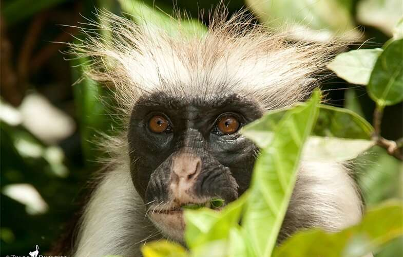 One of Africa's rarest primates protected by... speedbumps