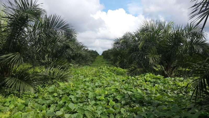 La producción de aceite de palma puede crecer sin convertir las selvas tropicales y las turberas