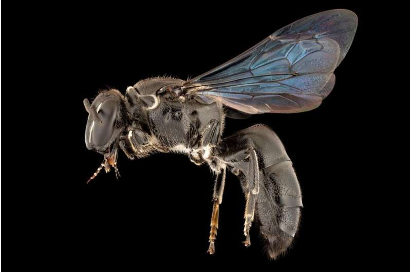 Rare bee found after 100 years