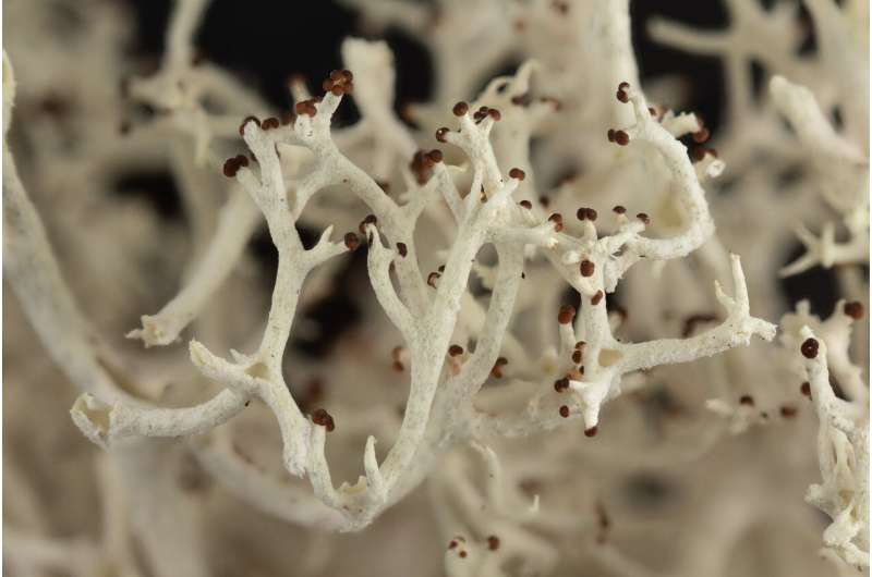 Reindeer lichens are having more sex than expected