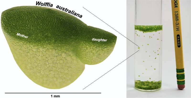 Research catches up to world's fastest-growing plant