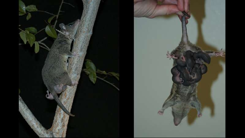 Researchers look for immunological solutions in opossums