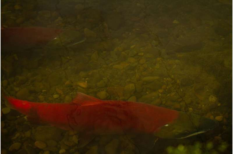 Salmon scales reveal substantial decline in wild salmon population & diversity