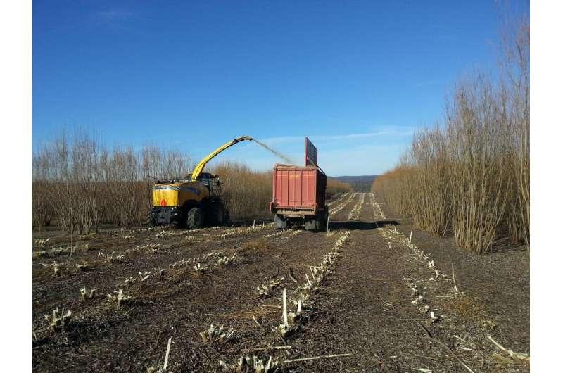 El sauce arbustivo como cultivo bioenergético