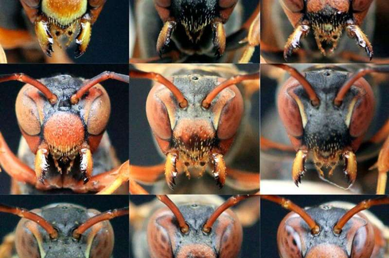 Social wasps lose face recognition abilities in isolation