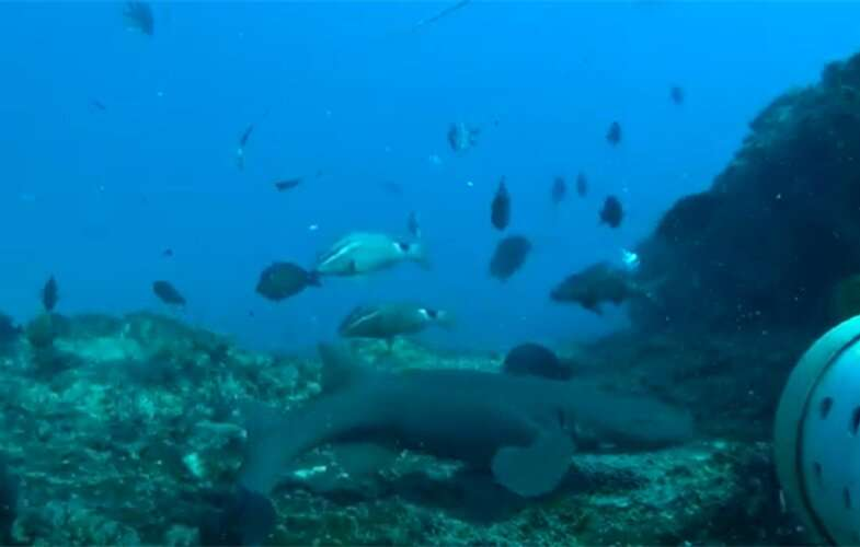 Southern Africa's most endangered shark just extended its range by 2,000 kilometers