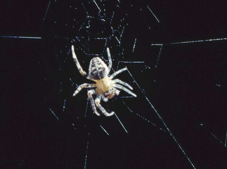 Spider legs build webs without the brain's help – providing a model for future robot limbs