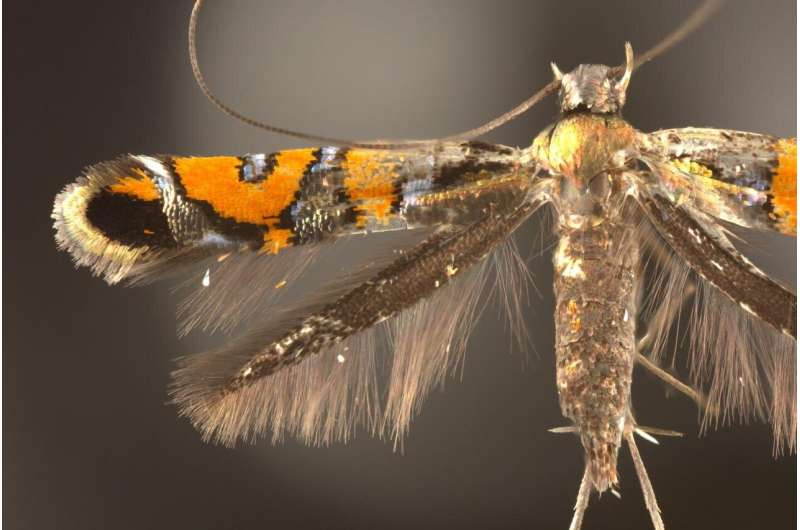 Study introduces 13 new, threatened species of sparkly moths from Hawaii
