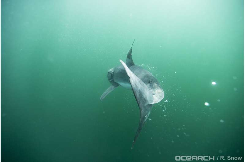 These baby great white sharks love to hang out near New York