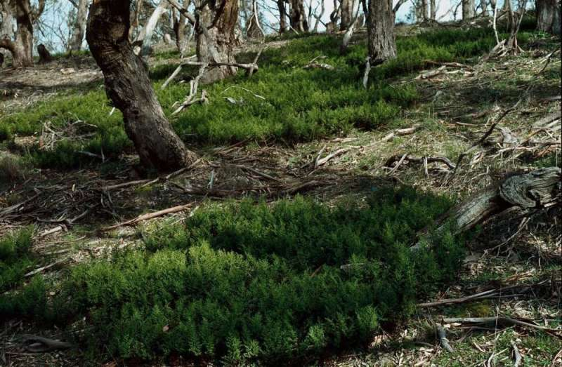 The story of resurrection ferns and my late colleague who helped discover them in Australia