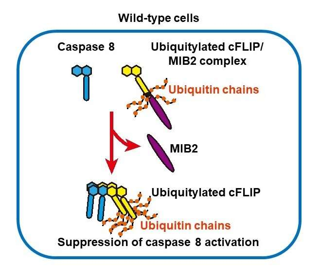 Toho university scientists find new mechanism to keep cell death pathway suppressed
