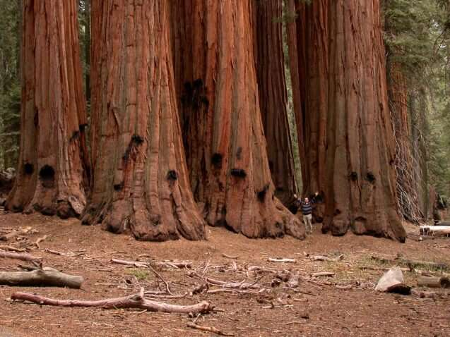 To save giant sequoia trees, maybe it's time to plant backups