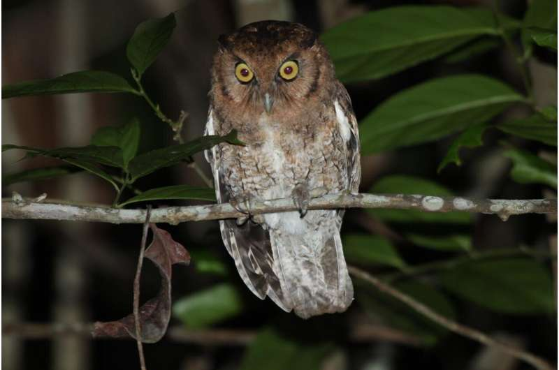 Two new species of already-endangered screech owls discovered in Amazon rainforest